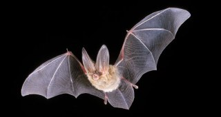 جفت-گیری-خفاش-تولید-مثل-خفاش-ها