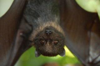 خفاش-ها-چه-میخورند