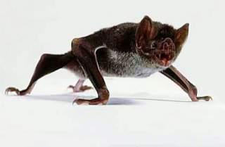 چرا خفاش راه نمی رود خفاش در حال راه رفتن آیا خفاش راه می رود