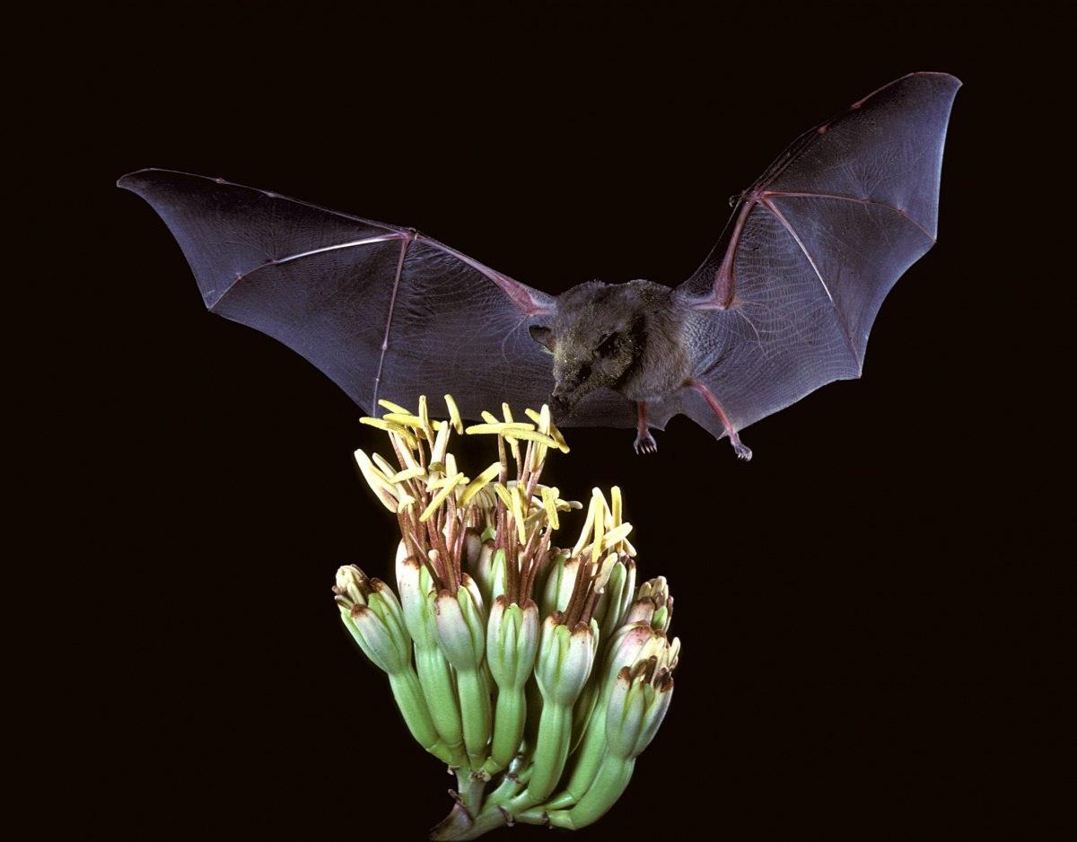 خفاش میوه خوار خفاش دانستنی خفاش خفاش ها غار خفاش بچه خفاش موز انبه انجیر خفاش