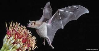 خفاش شهد خوار خفاش میوه خوار خفاش خفاش زیبا