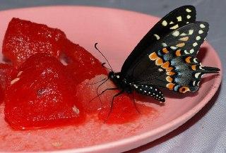 غذای پروانه چیست؟