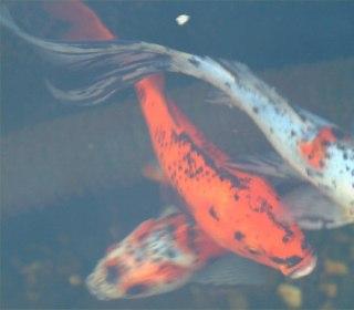 علت سیاهی ماهی قرمز نقاط سیاه در ماعی قرمز