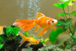 ماهی-قرمز-تخم-ماهی-جفت-گیری-ماهی-تولید-مثل-ماهی-ماهی-قرمز-عید