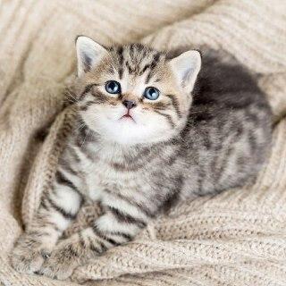 بچه-گربه-سن-گربه-طول-عمر-گربه-خاکستری-گربه-چشم-آبی