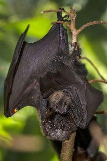 خفاش زیبا خفاش به همراه مادر بچه خفاش جفت گیری خفاش تولید مثل خفاش