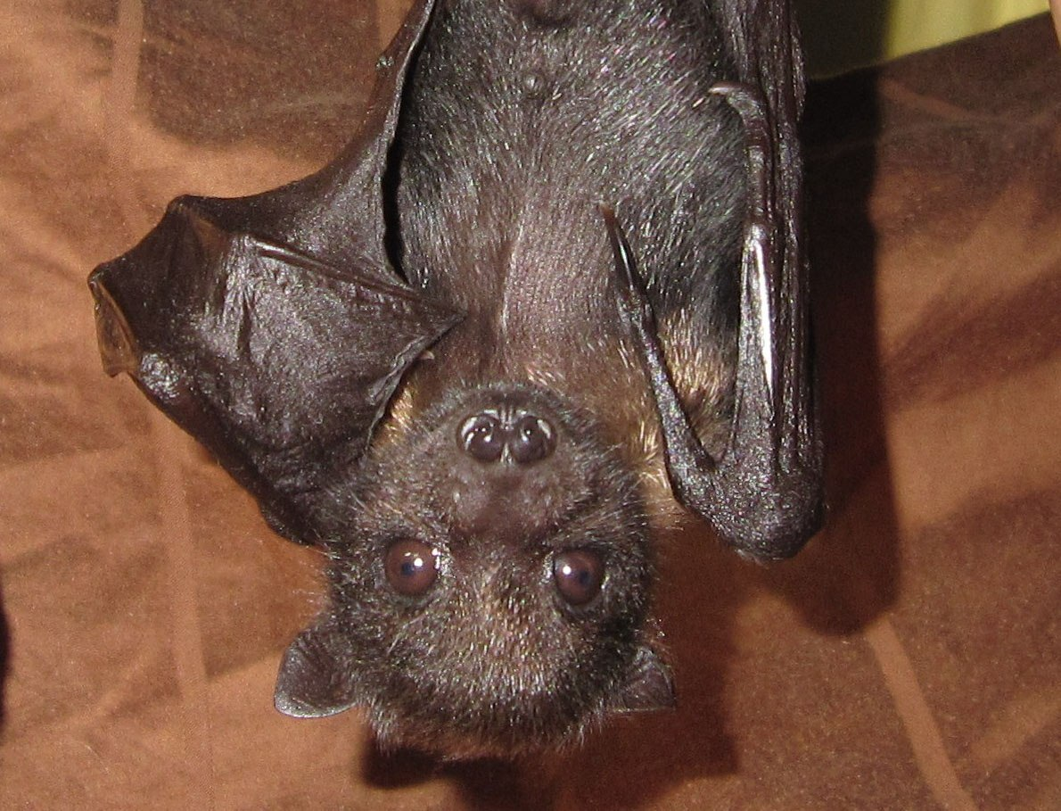 خفاش دانستنی در باره ی خفاش خفاش سیاه خفاش