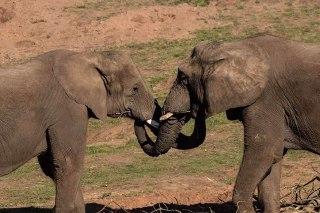 آیا فیل ها یکدیگر را در آغوش می گیرند؟