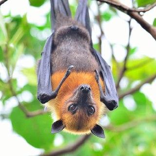 خفاش-میوه-خوار-غذای-خفاش