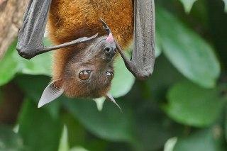 خفاش ویروس کرونا جدید