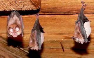 خفاش ها چگونه لانه می سازند لانه سازی خفاش ها خفاش ها لانه ی خفاش