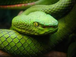 مار سبز سمی مار سبز خطرناک افعی سبز مار های سبز سمی