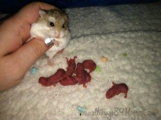 چرا همستر بچه هایش را می خورد بچه همستر کودک همستر همستر