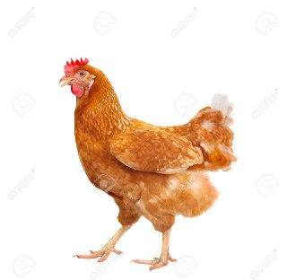 مرغ در فال قهوه مرغ ها مرغ فنجان قهوه مرغ در فال قهوه به چه معناست تعبیر مرغ در فال قهوه نشانه ی چیست مرغ در فال قهوه