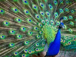 طاووس در فال قهوه طاووس قهوه طاووس زیبا در فال قهوه معنای طاووس در فال قهوه معنی طاووس در فال قهوه