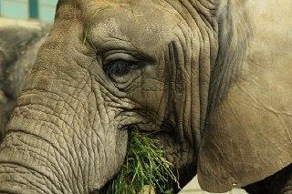 فیل ها چه میخورند  ؟