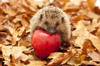 غذای جوجه تیغی جوجه تیغی چی میخوره غذای جوجه تیغی چیست جوجه تیغی سیب