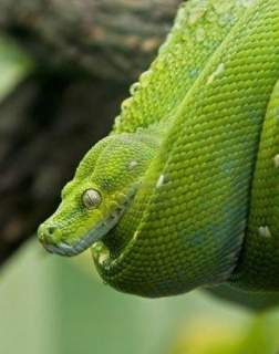 مار سبز غیر سمی مار سبز زمردی مار زمردی مار های سبز سمی
