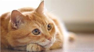 گربه-چندسال-عمر-میکنه-طول-عمر-گربه-گربه-حنایی-گربه-ناز