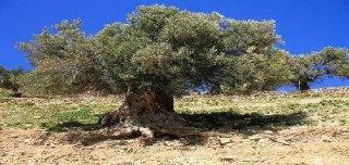 gharqad-tree