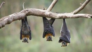 خفاش-برعکس-چرا-خفاش-ها-برعکس-میخوابند
