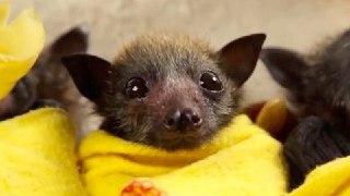 بچه خفاش خفاش یتیم مراقبت از خفاش  تولید مثل خفاش
