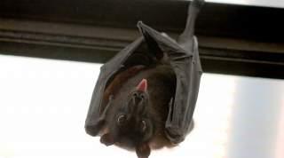 آیا خفاش شوم است خفاش شوم چرا خفاش شوم است