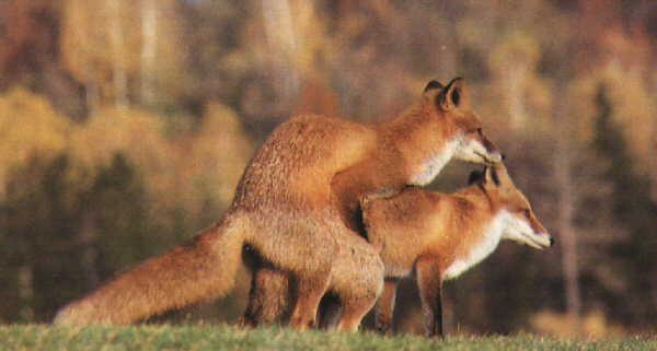 روباه قرمز تولید مثل روباه جفت گیری روباه