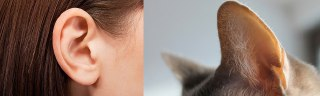 گوش گربه و انسان