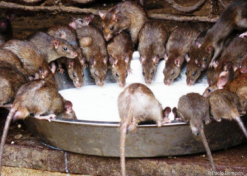 موش معبد موش موش در هند