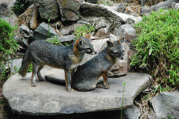 روباه خاکستری روباه تولید مثل روباه جفت گیری روباه