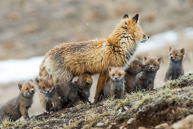 روباه به همراه بچه هایش روباه بچه روباه توله روباه