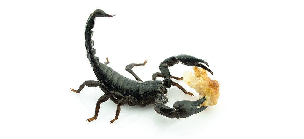 غذای مخصوص عقرب سیاه عقرب سیاه چه میخورد عقرب غذا عقرب امپراط.ر عقرب زیبا عقرب سیاه