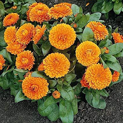 گل همیشه بهار مار از چه بدش میاد مار و سیر مار و گل مار و گیاه مار از چه گیاهی بدش میاد