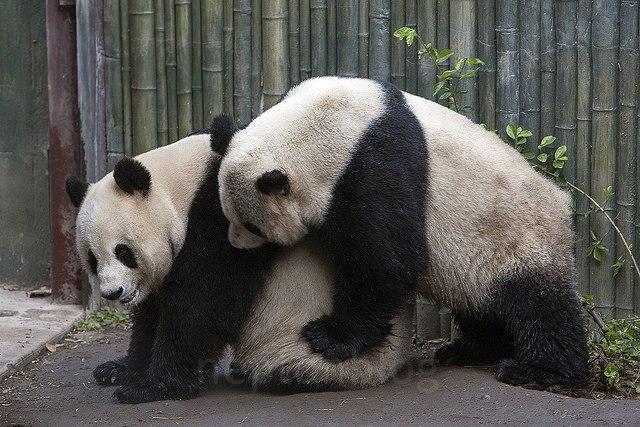 خرس-پاندا-جفت-گیری-پاندا-تولید-مثل-پاندا-ها