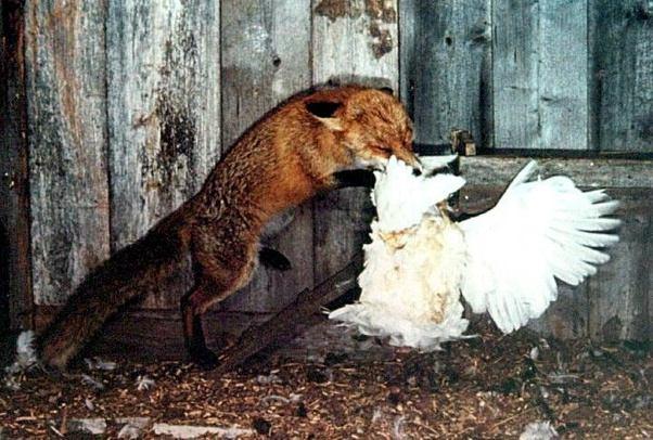 روباه مرغ شکار روباه غذای روباه