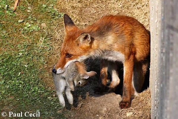 شکار روباه غذای روبله چیست خرگوش روباه چه می خورد