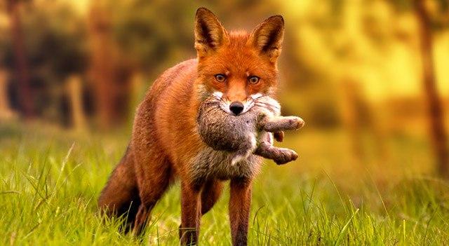 روباه خرگوش غذای روباه چیست غذای روباه