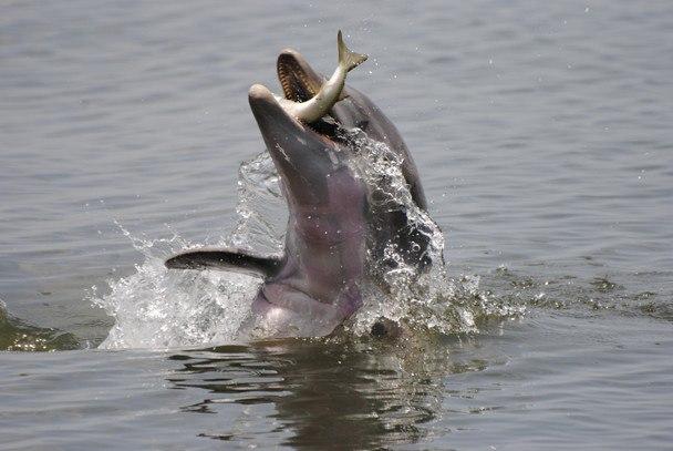 غذای دلفین چیست دلفین ها چه می خورند غذای دلفین دلفین ماهی زیر آب نهنگ قاتل چه می خورد غذای نهنگ قاتل چیست