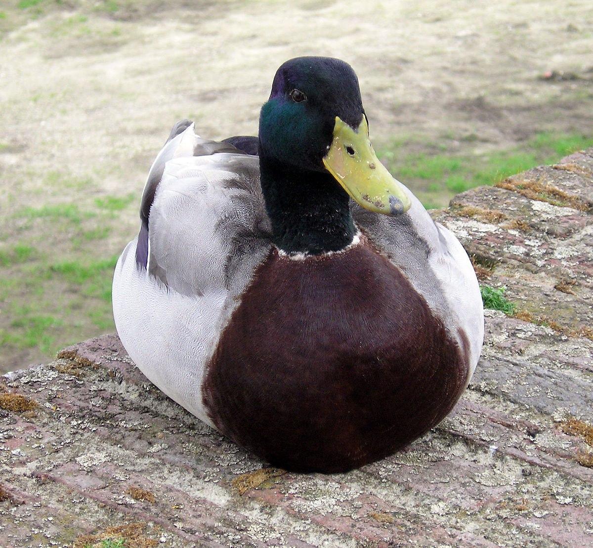تعبیر خواب اردک