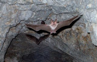 خفاش ها همه چیز درباره ی خفاش خفاش میوه خوار