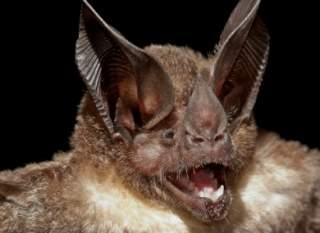 آیا خفاش کور است آیا خفاش میبیند آیا خفاش در شب می بیند خفاش کور
