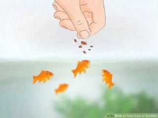ماهی-قرمز-چه-می-خورد-غذای-ماهی-قرمز-غذای-ماهی-چیست-ماهی-قرمز-عید-چه-می-خورد-غذا-