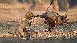 شیر ها چگونه شکار میکنند شکار شیر شکار گراز توسط شیر شکار بوفالو