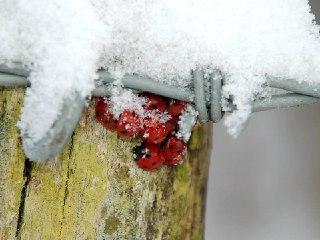 کفشدوزک-ها-در-خواب-زمستانی