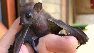 بچه خفاش مراقبت ار بچه خفاش خفاش کوچک تولید مثل خفاش